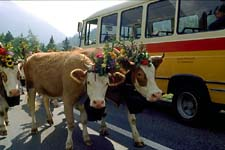 Swiss Cows Autumn Descent!
